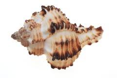 Shell voor decoratie Royalty-vrije Stock Fotografie