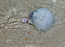 Shell in water Stock Photography