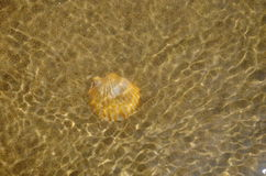 A shell in water on sandy beach Stock Image