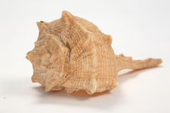 Shell in white. Shell from Pacific Ocean in a Canon 5D high quality image Royalty Free Stock Image
