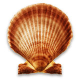 Shell on white Royalty Free Stock Photography