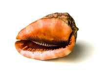Shell. On a white background Royalty Free Stock Photos