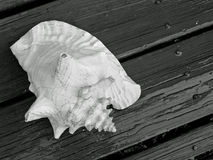 Shell on Wood. Conch shell on wood in black and white Stock Images