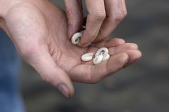 Shella del mar en las manos del hombre fotografía de archivo libre de regalías