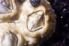 shellback (Balanus) na algach w czasie odpływu morza Makro- obrazy royalty free