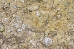 Shellbearing limestone closeup Stock Photography