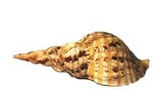 Shelles aislados en blanco con las perlas Fotografía de archivo