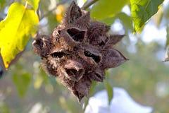 Shelles de cacao en árbol Imagen de archivo libre de regalías