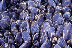 Shelles de la almeja Fotografía de archivo libre de regalías
