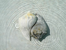 Shelles de la concha imagenes de archivo