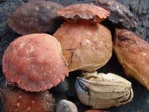 Shelles de los cangrejos Fotografía de archivo libre de regalías