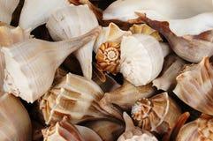 Shelles del bucino del relámpago (perversum de Busycon) Foto de archivo libre de regalías