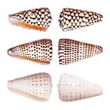 Shelles del cono Foto de archivo