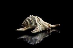 Shelles del mar aislados en blanco imágenes de archivo libres de regalías