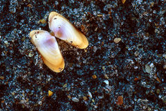 Shelles del mar de Coquina en la arena foto de archivo