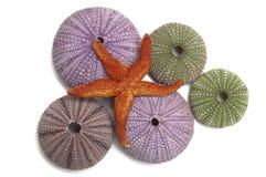 Shelles del pilluelo y una estrella de mar Fotografía de archivo