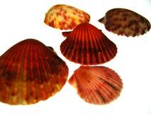 Shelles mezclados del mar Imagen de archivo libre de regalías