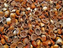 Shelles vacíos de la avellana imagen de archivo