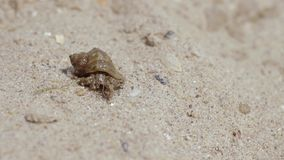Shellfish explores its surroundings on a sandy beach stock footage