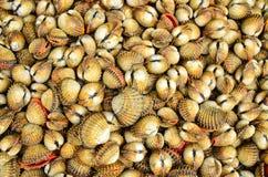 Shellfish Krwionośni Cockles - Jadalny tło Obrazy Royalty Free