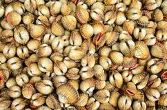 Shellfish Krwionośni Cockles - Jadalny tło Zdjęcie Stock