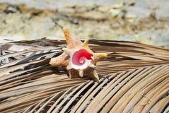 Shellfish, natury proporcja, Fibonacci wzór Tropikalny raj w Guna Yala, Kuna Yala, San BLas, wyspy, Panama spirala zdjęcie stock