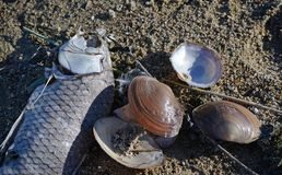 Shellfish over the dry shore stock photos