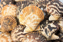 Shellfish. Raw natural many seashell background Royalty Free Stock Image
