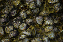 Shellfish on the reef Stock Photo