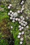 Shellfish on rock at low tide Royalty Free Stock Photo