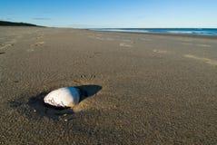 Shellfish on sandy beach. Wide angle photo of an isolated seashell on a sandy beach Stock Photos