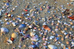 Shellfish at sea beach. Many kind of shellfish at the beach Royalty Free Stock Photo