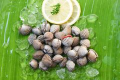 Shellfish Seafood Cockles fresh ocean gourmet dinner with lemon and ice on banana leaf. Background - raw blood cockle stock photography