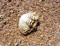 Shellfish. Shell fish on the sand of Red sea Royalty Free Stock Photography
