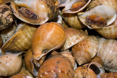 Shellfish snails Royalty Free Stock Photography