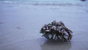 Shellfish stuck marine debris thrown out by waves on shore of South China Sea stock footage