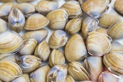 Shellfish such as clams are allergic to some people. Shellfish such as clams are delicious but allergic to some people Royalty Free Stock Photography