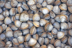 Shellfishes Stock Image