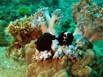 shellfishes cowries Стоковая Фотография