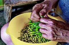 Shelling the fresh peas. Photography of old womans hands shelling the peas Stock Photo