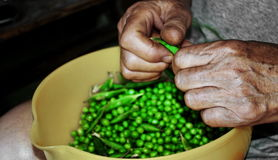 Shelling the fresh peas. Photography of old womans hands shelling the peas Royalty Free Stock Photo