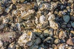 Shellls和岩石背景 免版税库存照片