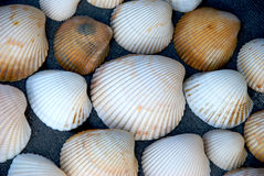 Shells. A group of large shells sitting together Royalty Free Stock Photos