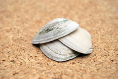 Shells. Composition ,closeup of an old sea shells Royalty Free Stock Image
