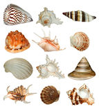 Shells. Collection of tropical marine shells white background Royalty Free Stock Photography