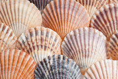 Shells. Scallop shells arranged in an overlapping pattern Stock Photography
