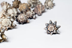 Shells. Beautiful star-shaped sea shells composition on white background Royalty Free Stock Photo