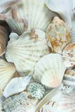 Shells. Royalty Free Stock Image
