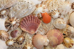 Shells. Detail of various sea shells as background Royalty Free Stock Image