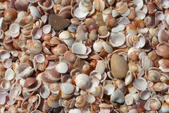 Free Shells Royalty Free Stock Image - 13518046